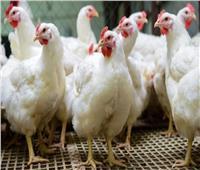 أسعار الدواجن في الأسواق اليوم... الدجاج البيضاء بـ٢٥ جنيهًا