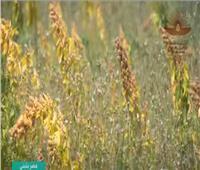 تعرف على مزايا تجربة زراعة «الكينوا».. فيديو