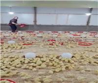 نماذج مضيئة.. «المنيا» على طريق الريادة في صناعة الدواجن