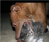 ضبط «صاحب» الكلب الذي افترس قطة بطريقة وحشية في فيديو على «السوشيال ميديا»