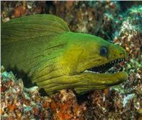 ثعبان البحر الكهربائي.. أخطر أنواع الأسماك المائية في العالم