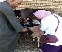 بدء الحملة القومية لتحصين الماشية ضد الجلد العقدي والجدري في أسوان