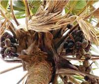 «13» مرض يساعد نبات الدوم في علاجهم والتخلص منهم... تعرف عليهم