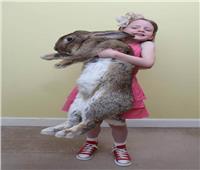 سرقة أضخم أرنب في العالم.. وهذه مكافأة من يعيده
