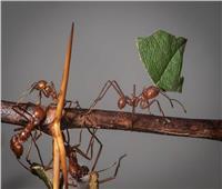 «دراسة»: النمل يشبه البشر عند التعرض لعزلة اجتماعية