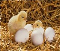الزراعة: تصدير 80 ألف بيضة تفريخ دجاج إلى الإمارات