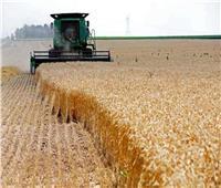 حصاد ٧٠ ألف فدان من القمح