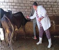 تحصين 48 ألف رأس ماشية ضد الجلد العقدي وجدري الضأن في بني سويف