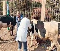 تحصين 57 ألف رأس ماشية ضد «الجلد العقدي» ببني سويف