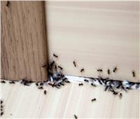 خلطات «منزلية» لمكافحة النمل وحشرات الصيف