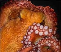 علماء يعثرون على «إخطبوط عملاق» في المحيط الهادئ |صورة