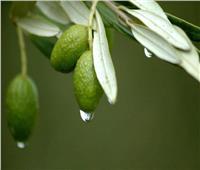أوراق شجرة الزيتون تكافح السرطان وتعالج القولون وضغط الدم