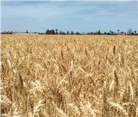 بشائر «الذهب الأصفر»| القمح يتلألأ في الحقول مع انطلاق موسم الحصاد | صور