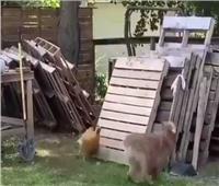 على طريقة «توم وجيري».. دجاجة تطارد كلبًا |فيديو