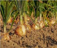 نقيب الفلاحين يوضح أسباب انخفاض أسعار البصل وتأثيره على المزارعين