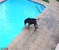 «الكلب الشجاع» ينقذ صديقه الصغير من الغرق | فيديو