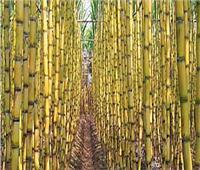 «الزراعة» تصدر نشرة بالتوصيات الفنية لمزارعي محصول قصب السكر خلال شهر مايو