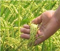 ننشر مواعيد وطرق زراعة محصول الأرز مع بدء الموسم