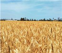 وزير الزراعة: حصاد 2 مليون فدان قمح حتى الآن