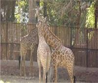 عيد الفطر.. حديقة الحيوان بدون زوار للمرة الثانية خلال شهر