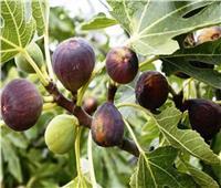 4 توصيات من الزراعة لتسميد أشجار التين خلال مايو