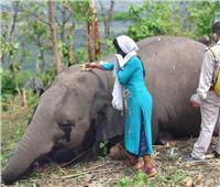 نفوق 18 فيلًا بسبب البرق في الهند ..صور