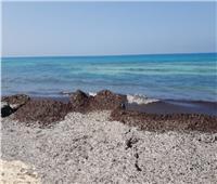 وزارة البيئة: لا يوجد تلوث بشواطيء الساحل الشمالي.. و«البوسيدونيا» السبب| صور