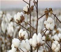 زراعة نحو 6 آلاف فدان من القطن «فائق الطول» بدمياط