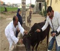 تحصين 102 ألف رأس ماشية ضد الجلد العقدي وجدري الضأن في بني سويف
