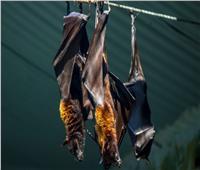 تشبه الذي اجتاح العالم.. اكتشاف سلالات جديدة من كورونا في الخفافيش