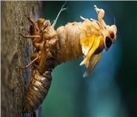 من أجل التزاوج.. حشرة «السيكادا» تخرج بالمليارات من تحت الأرض وتجتاح 18 ولاية أمريكية