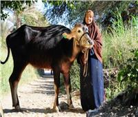 ضمن حياة كريمة بالغربية.. تسليم 1469 رأس ماشية للشباب والأسر المعيلة