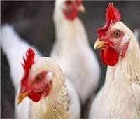 الزراعة: صناعة الدواجن يتجاوز استثماراتها 100 مليار جنيه