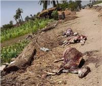 العثور على حمير مذبوحة بجوار مصرف زراعي في بني سويف
