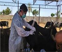 تحصين 113 ألف رأس ماشية ضد الجلد العقدي وجدري الضأن في «بني سويف»