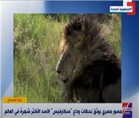 اللحظات الأخيرة في حياة الأسد «سكارفيس» يكشفها مصور طبيعة مصري فيديو
