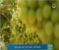 عناقيد الخير .. موسم حصاد العنب بهجة ورزق  فيديو