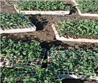 زراعة القطن بالشتل بنظام الري بالتنقيط لأول مرة بدمياط