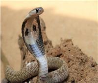 «ثعبان» يحبس الأهالى ثلاثة أيام فى منازلهم بكفر الشيخ