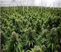 الأمم المتحدة : تأثيرات جائحة كورونا تزيد من مخاطر المخدرات| تقرير