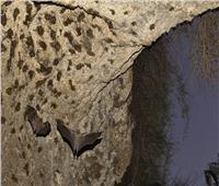 يطلق عليه «نيباه» .. تفشي أخطر الفيروسات في الهند بين الخفافيش