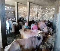 تحصين 14862 رأس ماشية بالدقهلية ضد الحمى القلاعية وحمى الوادى المتصدع