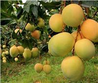 «الزراعة» تكشف سبب انتشار العفن الهبابي في المانجو
