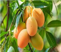 لمنع تشققات ثمار «المانجو» على الأشجار.. اتبع هذه النصائح