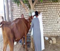تحصين 54 ألف رأس ماشية ضد الحمى القلاعية بالغربية