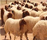 الزراعة: حجز الأضاحي بمقدم 5 آلاف جنيه للعجل و1500 جنيه للخروف