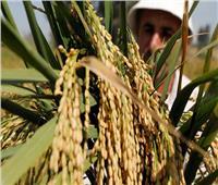 «التموين»: استلام 210 آلاف طن أرز