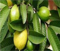 6 نصائح لمزارعي الجوافة يجب مراعاتها خلال يوليو.. تعرف عليها