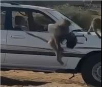 حالة سطو مثيرة .. «قرد» يسرق حقيبة سيدة سعودية ويفر هارباً|فيديو