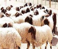 انفوجراف  روشتة «الزراعة» قبل شراء أضحية العيد»